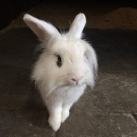 Photo of Spartan, white lionhead with dark eyes